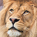 Lion In Deep Thought by Athena Mckinzie