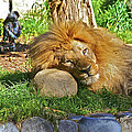 Lion In Repose by SC Heffner