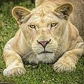 Lion In The Grass by LeeAnn McLaneGoetz McLaneGoetzStudioLLCcom