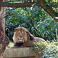 Lion King At Washington Zoo by Lingfai Leung