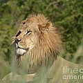 Lion King by Carol  Bradley
