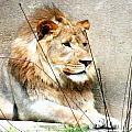 Lion by Lizi Beard-Ward