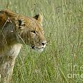 lion Masai Mara Kenya by Gilad Flesch