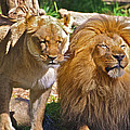 Lion Mates by SC Heffner
