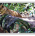 Lion Resting by Alice Gipson