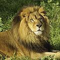 Lion Resting by Jeffrey Banke