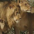 Lion Reunion by Jamie Bishop