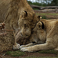 Lion Smooch by Graham Palmer