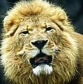 Lion by Steve McKinzie
