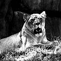 Lion by Terry Matysak