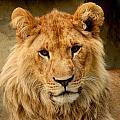 Lion by TouTouke A Y