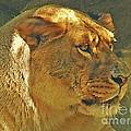 Lioness 2012 by Kathryn Strick