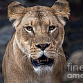 Lioness by David Rucker