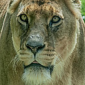 Lioness Female Lion 2 by Chris Thaxter