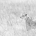 Lioness In Black And White by Max Waugh