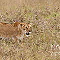 Lioness, Kenya by John Shaw