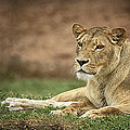 Lioness by Kim Andelkovic