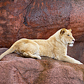 Lioness On A Red Rock by Les Palenik