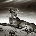 Lioness On Desert Dune by Johan Swanepoel