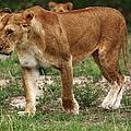 Lioness On The Masai Mara by Aidan Moran