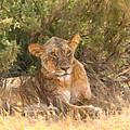 Lioness  Panthera Leo Resting by Liz Leyden