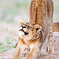 Lioness Panthera Leo Stretching by Panoramic Images