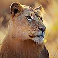 Lioness Portrait Lying In Grass by Johan Swanepoel