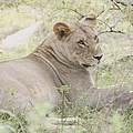 Lioness Relaxing by Tom Wurl