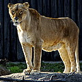 Lioness by Frozen in Time Fine Art Photography