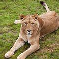 Lioness Sitting In Grass by Gillian Dernie