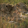 Lioness With Cub by Carl Purcell