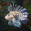 Lionfish - Gatlinburg Tn Ripleys Aquarium by Dave Allen