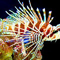 Lionfish 1 by Dawn Eshelman