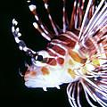 Lionfish 3 by Dawn Eshelman