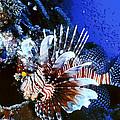 Lionfish 4 by Dawn Eshelman