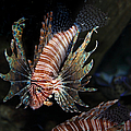Lionfish 5d24143 by Wingsdomain Art and Photography