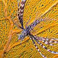 Lionfish Against Yellow Fan Coral by Gary Hughes