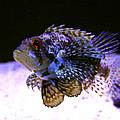 Lionfish Dendriochrius Barberi by Karon Melillo DeVega