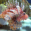 Lionfish by Sandi OReilly