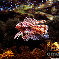 Lionfish by Tommy Anderson