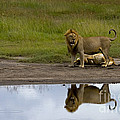 Lions   #1504 by J L Woody Wooden