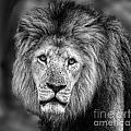 Lion's Eyes by Ben Yassa