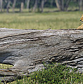 Lions by John Shaw
