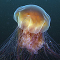 Lions Mane Jellyfish Prince William by Hiroya Minakuchi