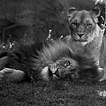 Lions Me And My Guy by Thomas Woolworth