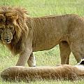 Lions On The Masai Mara by Tony Murtagh
