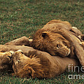 Lions by Ron Sanford