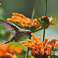 Lionstail Hummer by Gary Newvine