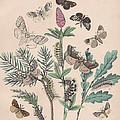 Liparidae - Notodonitdae by W Kirby