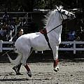 Lipizzaner Stallion Jumping by Jay Droggitis